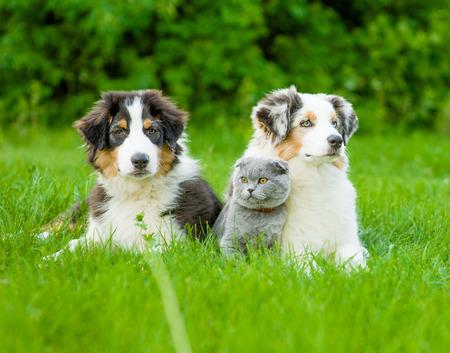 Dos cachorros de pastor australiano y gato escocés tumbado en la hierba verde.
