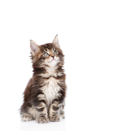 maine coon: maine coon cat looking up. isolated on white background. Stock Photo
