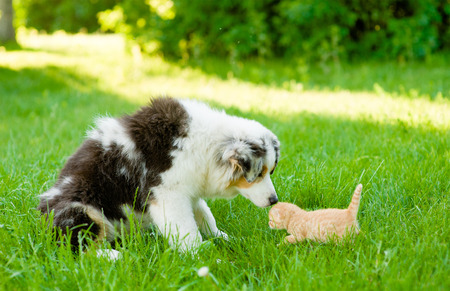 sniff dog: Australian shepherd puppy sniffing small kitten on green grass. Stock Photo