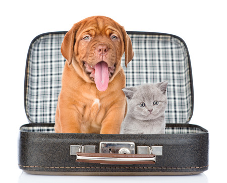whelp: Bordeaux puppy and gray kitten sitting together in a bag. isolated on white background.