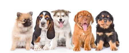 순종 강아지의 그룹입니다. 흰색 배경에 고립입니다.