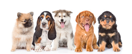 small dog: group of purebred puppies. isolated on white background. Stock Photo