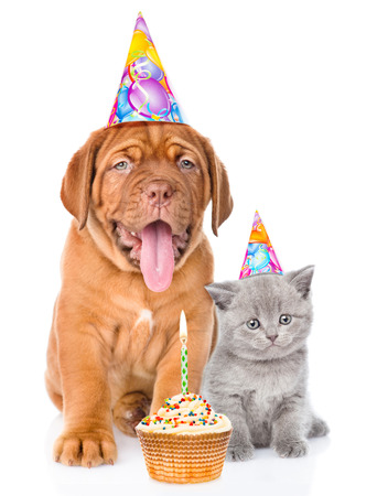 bordeaux dog: Bordeaux puppy dog and scottish kitten with birthday hats and cake. isolated on white background.