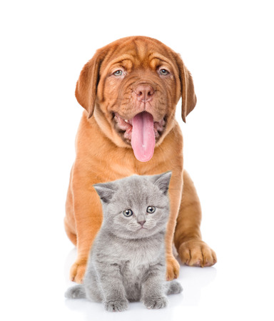 french mastiff: bordeaux dogue puppy and scottish kitten sitting together. isolated on white background. Stock Photo