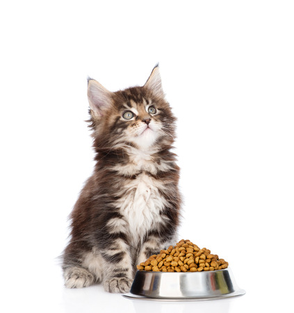 maine cat: maine coon kitten sitting with a bowl of dry cat food and looking up. isolated on white background.