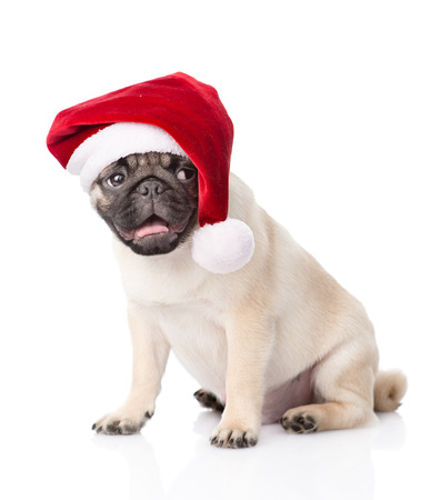 carlin: pug puppy with red santa hat. isolated on white background.