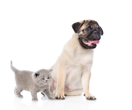 carlin: Funny pug puppy sitting with tiny scottish cat together. isolated on white background.