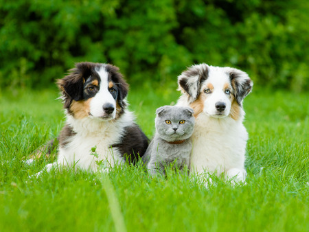 Two Australian shepherd puppies and scottish cat lying on green grass. Banque d'images
