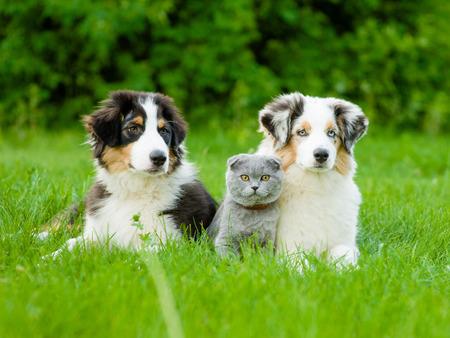 Two Australian shepherd puppies and scottish cat lying on green grass. Stockfoto