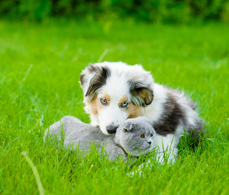 Australian shepherd puppy lying with a cat on the green grass.