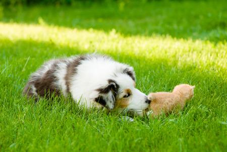 Australian shepherd puppy sniffing small kitten on green grass. Imagens