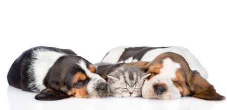 cute kittens: kitten sleep with two basset hound puppies. isolated on white background. Stock Photo