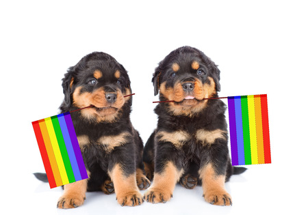 two rottweiler puppies with rainbow color flag symbolizing gay rights. Isolated on white background. Stock Photo