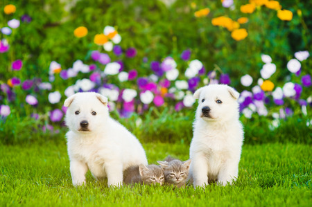 cute dogs: two White Swiss Shepherd`s puppies and tabby kittens on green grass.