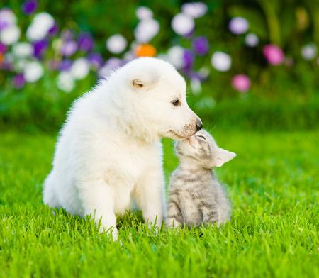 White Swiss Shepherd`s puppy kissing kitten on green grass.