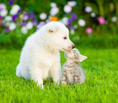 White Swiss Shepherd`s puppy kissing kitten on green grass.