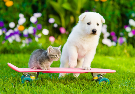 animals together: White Swiss Shepherd`s puppy and tabby kitten on skate.