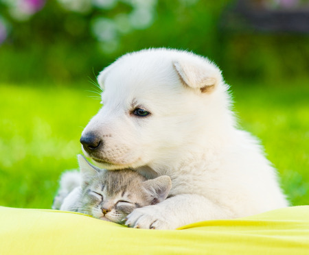White Swiss Shepherd`s puppy embracing sleeping kitten. Stock Photo
