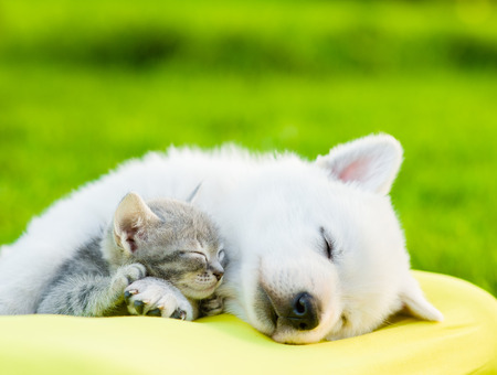 kitten small white: White Swiss Shepherd`s puppy and small kitten sleeping together. Stock Photo