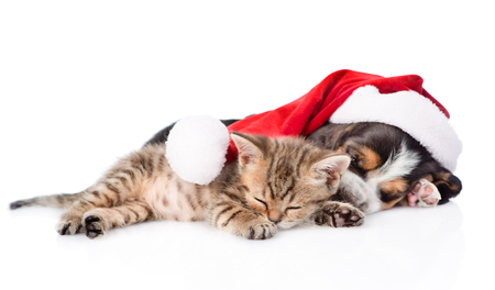 kitten: Tiny kitten and basset hound puppy in red santa hat sleeping together. isolated on white background.