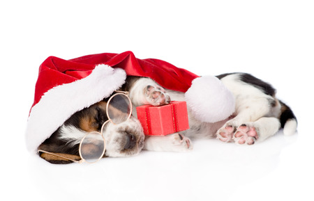 dog paw: cute basset hound puppy with red gift box and santa hat. isolated on white background.