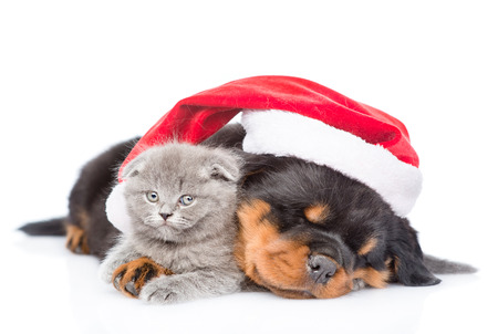 Rottweiler puppy and small kitten in red santa hat. isolated on white background.