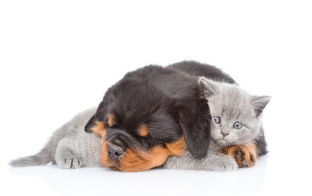 Sleeping rottweiler puppy embracing cute kitten. Isolated on white background.