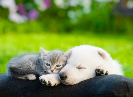group of dogs: White Swiss Shepherd`s puppy and small kitten sleeping together. Stock Photo