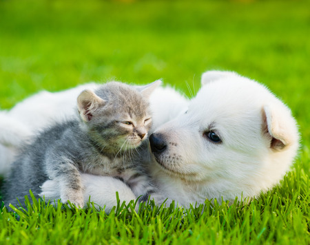 puppy and kitten: White Swiss Shepherd`s puppy playing with tiny kitten on green grass.