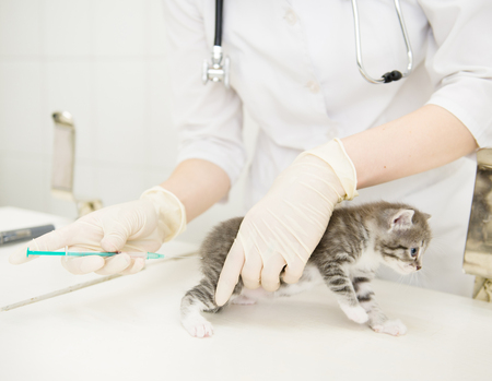 baby ass: Vet injected vaccine kitten. Stock Photo