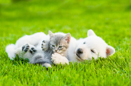group of dogs: White Swiss Shepherd`s puppy playing with tiny kitten on green grass