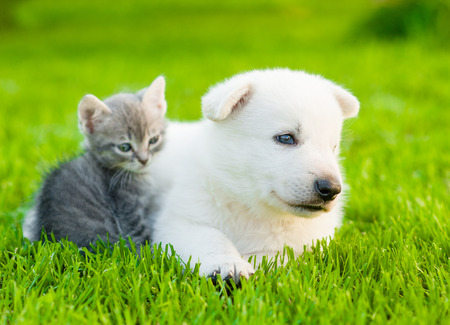 puppy and kitten: White Swiss Shepherd`s puppy lying with kitten on green grass