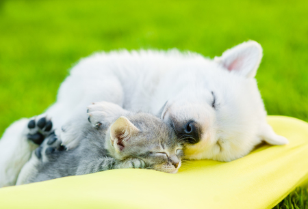 nature: White Swiss Shepherd`s puppy and small kitten sleeping together