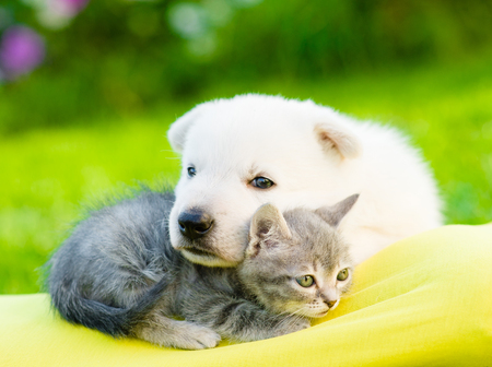 White Swiss Shepherd`s puppy embracing kitten