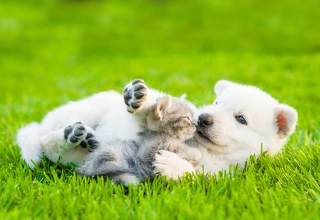 White Swiss Shepherd`s puppy playing with tiny kitten on green grass