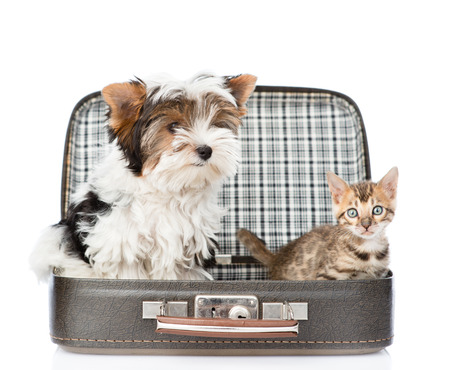 holiday pets: Biewer-Yorkshire terrier and bengal cat sitting in a bag. isolated on white background Stock Photo