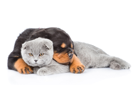 rottweiler: Sleeping rottweiler puppy embracing gray cat. Isolated on white background