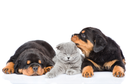 kitten: kitten lies between the two rottweiler puppies. Isolated on white background Stock Photo