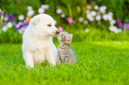 kitten kissing  White Swiss Shepherd`s puppy on green grass. Stok Fotoğraf