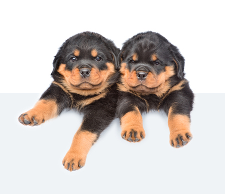 above: Two Rottweiler puppies peeking from behind empty board. isolated on white background.