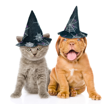dog in costume: Bordeaux puppy and kitten  with hats for halloween sitting together. isolated on white background. Stock Photo
