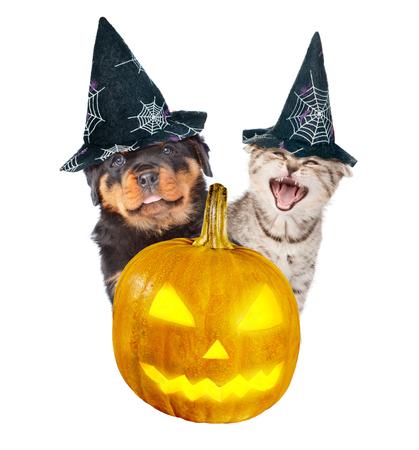 perro asustado: Cachorro Rottweiler y gato enojado se asoma desde detr�s de una calabaza. aislado en el fondo blanco.
