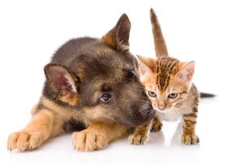 dog isolated: German shepherd puppy dog sniffs small bengal cat. isolated on white background. Stock Photo
