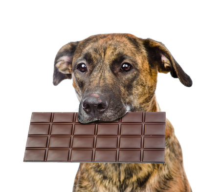 Dog with chocolate in the mouth. isolated on white background.
