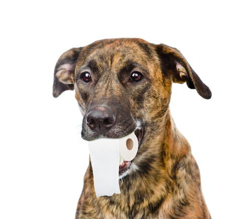 강아지 그의 입에 화장지 롤을 들고. 흰색 배경에 고립.