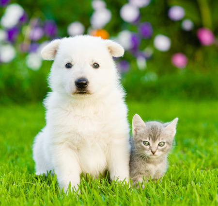 PUPPIES: White Swiss Shepherd`s puppy and kitten sitting together on green grass.