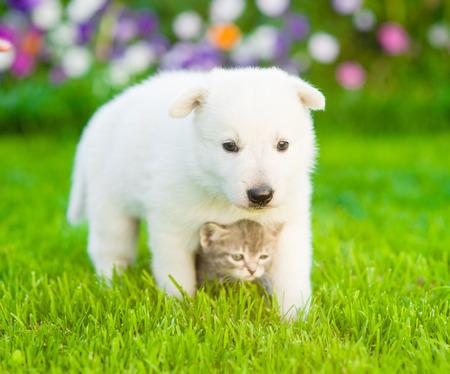 tiny: White Swiss Shepherd`s puppy hugging kitten on green grass.