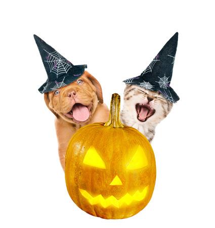 perro asustado: Burdeos cachorro y gatito con sombrero para Halloween se asoma desde detrás de una calabaza. aislado sobre fondo blanco.