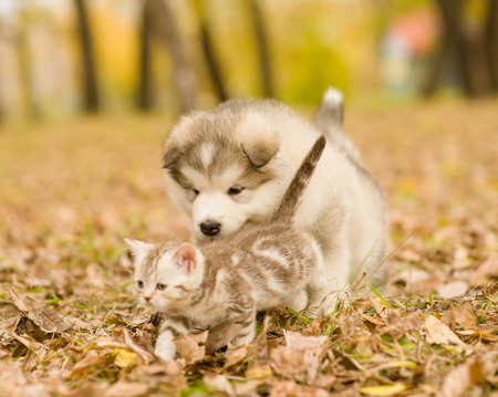 playful: Alaskan malamute puppy playing with tabby kitten on the autumn foliage in the park. Stock Photo