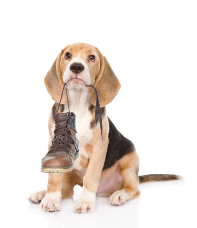 perro comiendo: Cachorro sostiene los zapatos en la boca. Aislado en el fondo blanco. Foto de archivo
